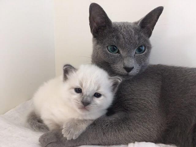 Dasha en Tommy van Cattery Vanyusha